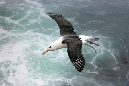 Engineers identify key to albatross' marathon flight