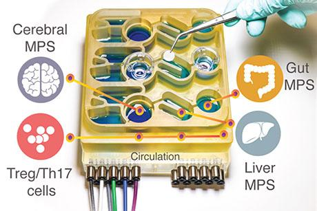 """Organs-on-a-chip"" system replicates interactions between the brain, liver, and colon"