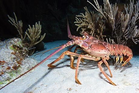 Study shows that a lobster's underbelly is as tough as industrial rubber