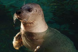 Artificial whisker reveals source of harbor seal's uncanny prey-sensing ability